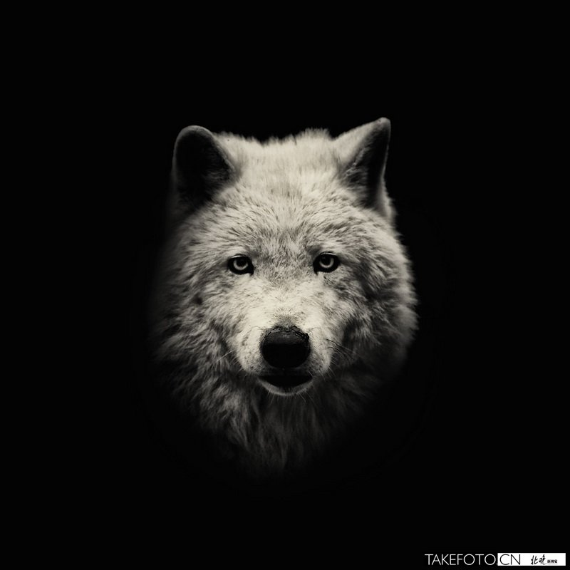 低调黑白动物肖像《野性的美》