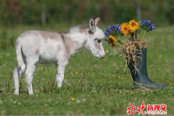 因为这只小驴个子太小,它的主人就把它取名叫Dinky,意思就是很小很小的。Dinky的妈妈也是一直迷你驴子,所以它一出生就很比正常的小驴要小很多,个头和一只小狗差不多。 目前,农场主人已经把Dinky送到庇护所,希望Dinky能够健康长大。Dinky所居住的动物庇护所,不但能让游客自由地喂养驴子,也能教育民众,爱护动物。