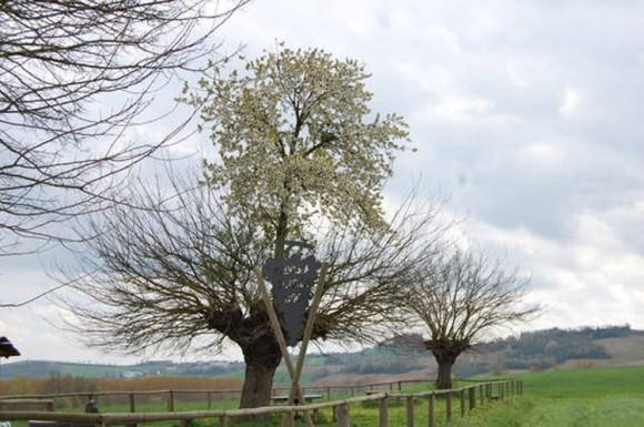 """意大利神奇""""双生树"""":樱桃树寄生桑树顶部"""