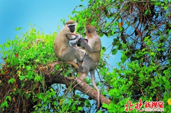 树上的猴子不时的出现在人们的视线中