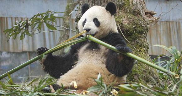 """爱丁堡动物园为大熊猫分娩设""""禁飞区""""防噪音"""