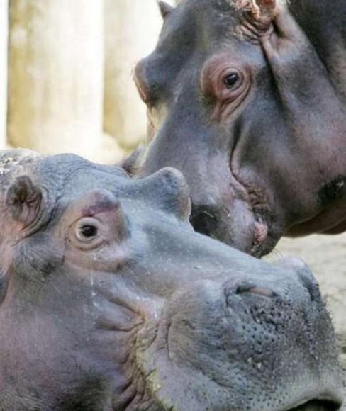 8月24日报道,日前,德国法兰克福市(frankfurt am main)动物园的雄性