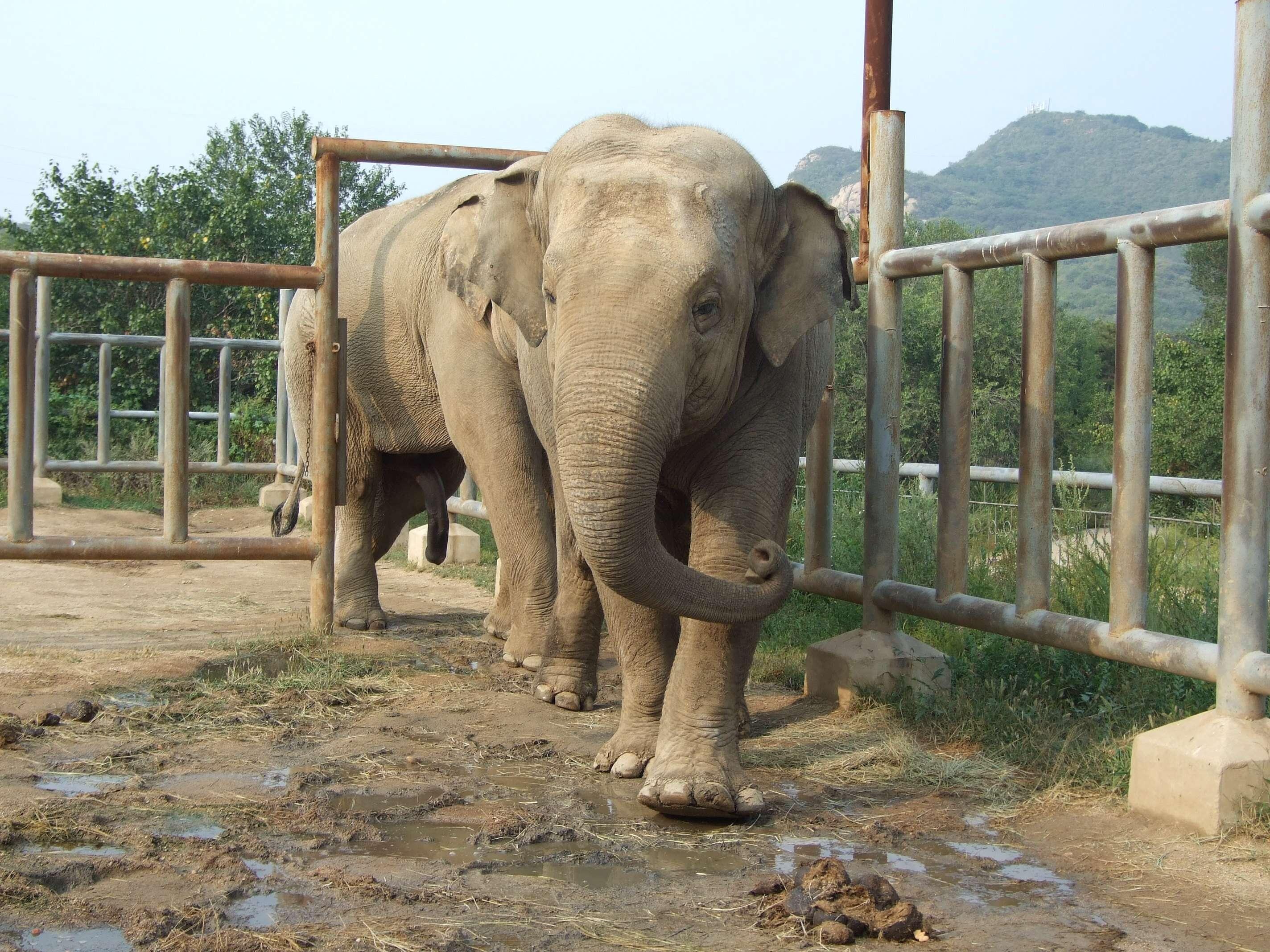 2014年9月2日 北京 八达岭野生动物世界有一头大象,脚趾头溃烂感染的面积约有半个拳头大。要想给这头大象治好病,必须找到合适的麻醉剂。这一消息,被网友发在了微博上,引来了人们的关注。 这头名叫欣欣的母象今年13岁。前天,它前肢两个脚掌溃烂、感染的照片,被环保组织自然大学发在了微博上。昨天下午,记者联系上了自然大学鸟兽学院的志愿者。据介绍,大象欣欣去年从秦皇岛的动物园来到了八达岭野生动物世界,然而志愿者去看望它时,发现它两个前肢末端,都有一些病变。虽然大象的生活看上去基本没有受到影响,每天