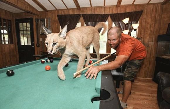 博瓦德14只大型猫科动物一同生活,其中包括6只老虎,2头狮子和一只山猫