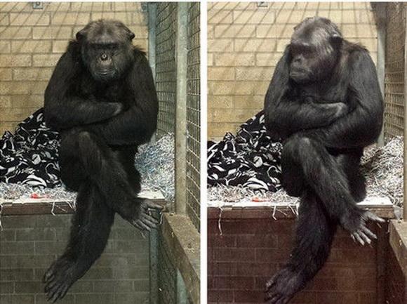 不久前,这家超市迫于动物保护人士的压力,以及考虑到收容所内的大猩猩
