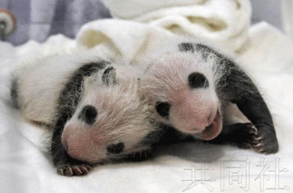 日本为双胞胎熊猫宝宝征名 2015年公布结果图片