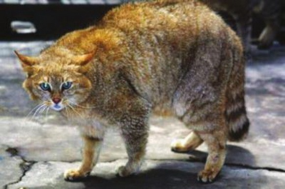 国家二级保护动物荒漠猫