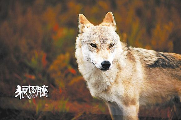 狼图腾 狼王