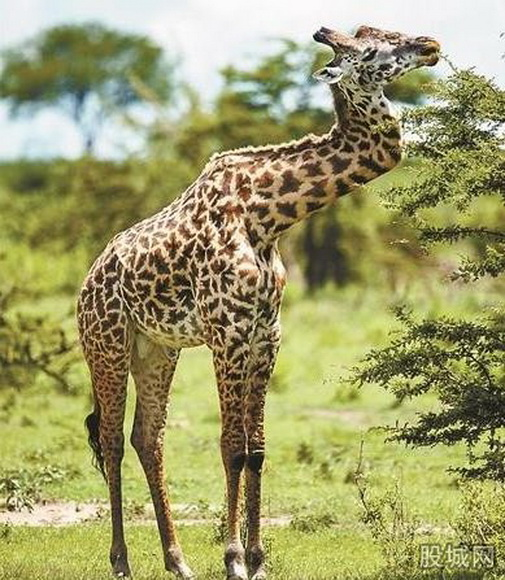 资料图 我们经常会见到人为了女人而跟别人大大出手,有的甚至是被打得体无完肤,这种情况只有在人的世界才会出现。如今,这一剧情却发生在了动物世界里,令人震惊,看来长颈鹿为了守护自己的爱情也是拼了! 长颈鹿以长脖子而出名,如今这只长颈鹿脖子却被打断了,实在是太可怜了,好在脖子被打断的它并没有生命危险,这也算是不幸中的大幸了! 长颈鹿是一种生长在非洲的反刍偶蹄动物,拉丁文名字的意思是长着豹纹的骆驼。它们是世界上现存最高的陆生动物。一般的长颈鹿站立时由头至脚可达4.