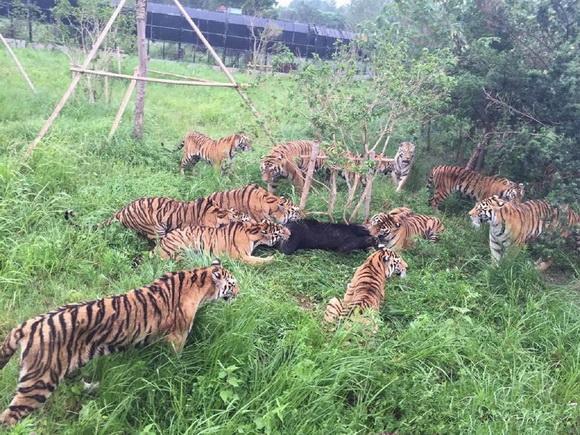 网友拍下上海动物园老虎吃熊一幕