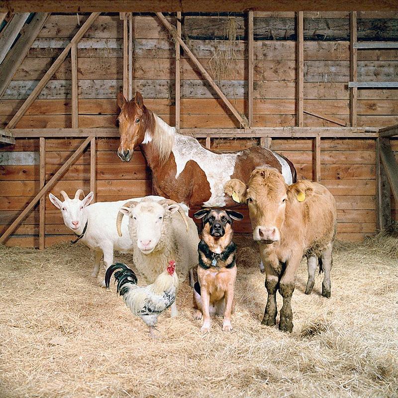 布鲁克林摄影师Rob Macinnis在他的新作系列The Farm Family中拍摄了一组新的时尚风格大片,只不过大片的主角不是model,而是农场中的牛、羊、鸡、狗、马这组乍一看有些搞笑的作品,Macinnis却想表现一个有些严肃的话题-我们为了满足自我的口腹之欲,却要最终剥夺这些富有灵性动物的生命。以谷仓和农场为背景展开一系列可爱却发人深省的照片,拍摄主角为农场里的动物,其背后所要表达的意涵是同为人类的朋友和人类赖以为生的食物,我们究竟怎么看待这些动物,这些蕴含着矛盾意味的照片Rob Mac
