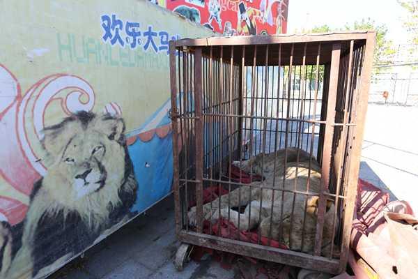 在1989年开始施行的《野生动物保护法》中,并没有关于动物表演、马戏等方面的内容。1991年开始施行的《国家重点保护野生动物驯养繁殖许可证管理办法》,虽然经过了两次修正,但其中并无动物表演或马戏的相关内容。 涉及到马戏表演,如果有狮子、黑熊等野生动物参与,只要办理好驯养证和运输证,再办理好与普通的文艺演出类似的一些备案、审批手续,就可以上演。目前我国,并无针对动物表演的专门法律法规或是审批手续。 在我国的管理体系中,野生动物归林业部门管理,而动物园归住建部门管理。近年来,林业部