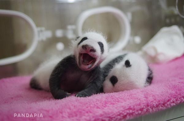 萌萌哒!成都大熊猫基地面向全球招募双胞胎