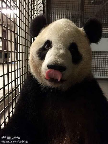 成都大熊猫基地面向全球招募双胞胎