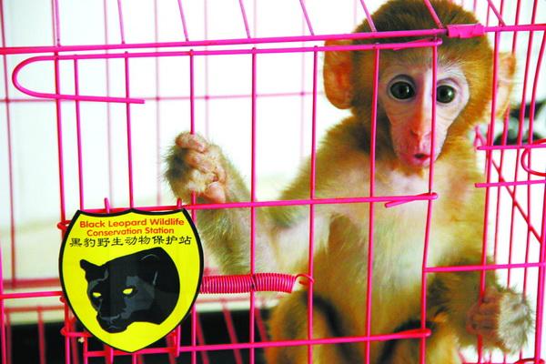 猕猴 接到求助电话后,野保站站长李理和巡护队员赶往这位市民家。到现场后,他们发现,这是一只猕猴幼崽,大约8个月大,属于国家二级野生保护动物,这种猕猴主要分布在我国南方省份。 在向主人介绍了小猴子的保护级别,以及饲养野生动物危害健康的须知后,李理将小猴子接走并转往北京野生动物救助中心。在北京野生动物救助中心,经过初步体检,小猴子的身体状况很健康。工作人员将其放到了康复笼中,准备择机将小猴子放归自然。恰好康复笼舍中还有一只和它差不多大的小猴子,两只小猴很快成了伙伴。 李理说,野保站此前也曾接到过很多类似的求