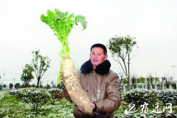 超级qq挖萝卜_江苏一村民种出超级大萝卜 高60厘米重达5公斤 | 北晚新视觉