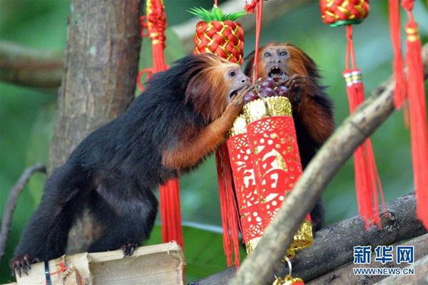 """新加坡动物园猴子贺新春 这次是真的""""猴腮雷"""""""