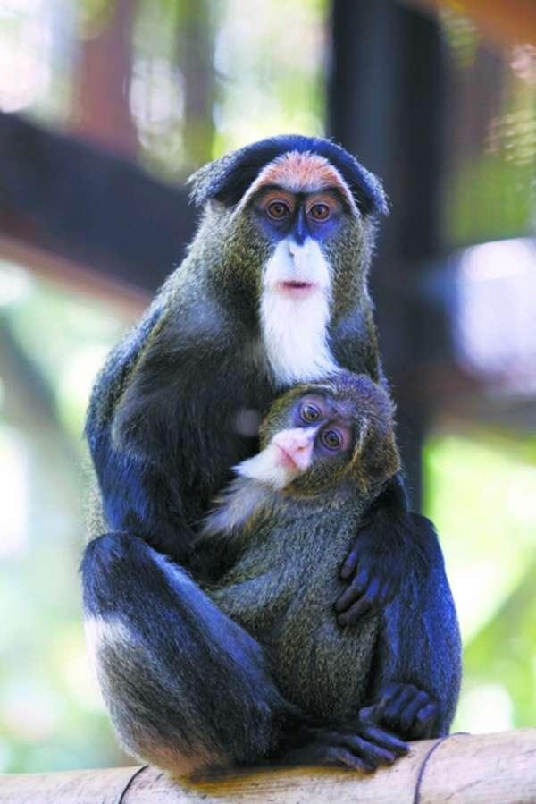 白臀长尾猴图片