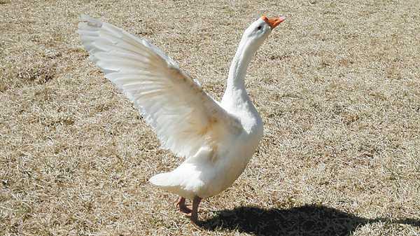 抖音动物图片鹅