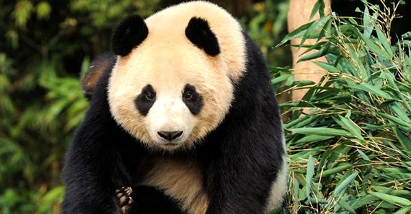 国道发现野生熊猫 圆圆的身体一晃一晃移动几分钟后钻
