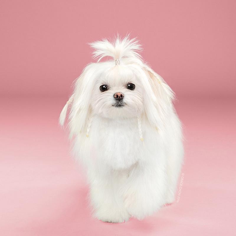近日,由美国摄影师Grace Chon所拍摄的一套名为Hairy的摄影作品集在网络上大受欢迎,摄影师通过照片向我们展示了一群超可爱小狗在进行宠物美容前后的变化。它们之中大多都进行了修毛处理,并换上了新的发型,有些小狗在美容后几乎彻底颠覆了原有的形象,可见发型不仅可以改变一个人的精神面貌,对于狗狗也不例外。据摄影师表示,照片中的所有小狗都在洛杉矶的Healthy Spot进行了一种日式美容,整个过程耗时数小时。