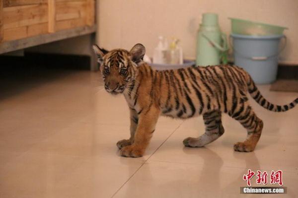 江西省南昌市动物园10日对外宣布,濒临灭绝的华南虎种群喜添新丁,两只雄性华南虎幼崽成功渡过90天的观察期,生命体征良好。目前,南昌市动物园已圈养26只华南虎,成为中国圈养华南虎最多的机构。作为最接近原始老虎、位居生态链顶端的旗舰物种,华南虎曾分布于华东、华中、华南、西南及陕西、陇东、豫西和晋南等地区。但由于自然和人为原因,华南虎数量急剧下降。据中国动物园协会提供的数据,截至2015年底,全球华南虎仅存130余只,分布在15家动物园。图为在南昌市动物园动物医院育幼室,小萌虎在休息。苏路程 摄  江西省南昌