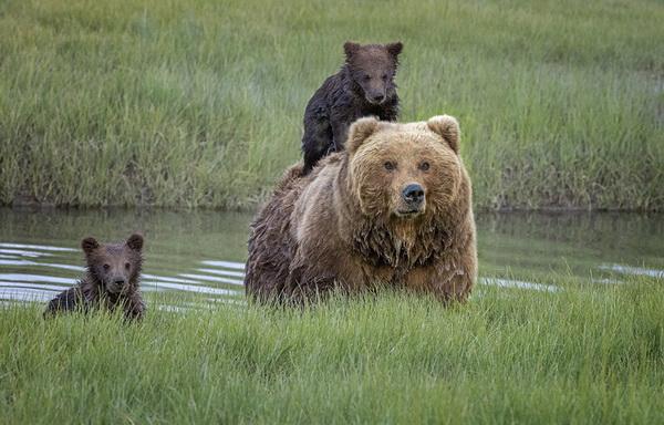 clark national park),用照片见证了棕熊一家外出,熊母背着怕水小熊