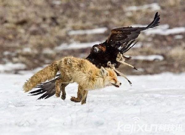 金雕(学名:Aquila chrysaetos)属于鹰科,是北半球上一种广为人知的猛禽。金雕以其突出的外观和敏捷有力的飞行而着名;成鸟的翼展平均超过2米,体长则可达1米, 可以在草原上长距离地追逐狼,等狼疲惫不堪时,常以速度为每小时300千米的之势从天而降,并在最后一刹那嘎然止住扇动的翅膀,然后牢牢地抓住猎物的头部,将利爪戳进猎物的头骨,使其立即丧失性命。,一爪抓住其脖颈,一爪抓住其眼睛,使狼丧失反抗的能力,曾经有过一只金雕先后抓狼14只的记录。相比之下,它的运载能力较差,负重能力还不到1千克。在捕到较