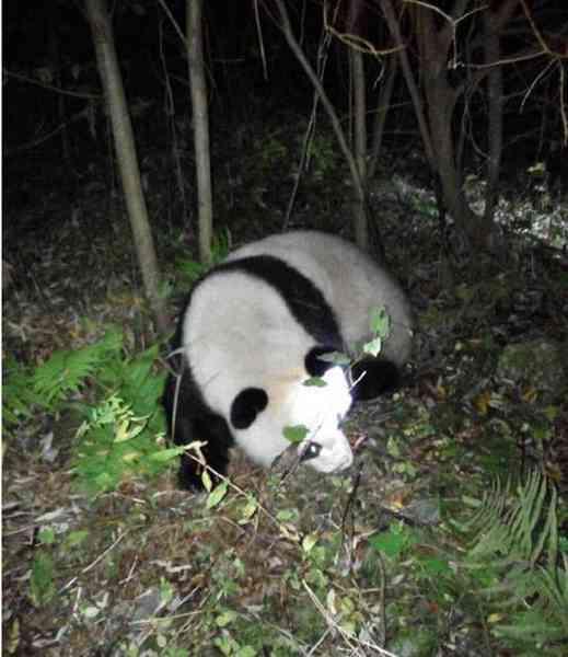 大熊猫误入水电站 网友:看着国宝在湍急的河里真是揪心