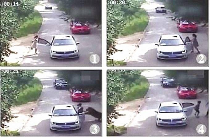 今年7月北京八达岭野生动物园发生的东北虎伤人