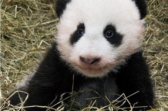 为了防止两只大熊猫幼仔再次伤人和逃出大厅门,饲养员拖、放大熊猫幼仔的动作幅度过大、过猛而快速。为防止熊猫抓伤咬伤后感染狂犬病,熊猫基地表示,当事饲养员7月12日晚立即赶到四川省第四人民医院挂急诊,先后注射了3针狂犬疫苗。 就网友发布的摔熊猫短视频,熊猫基地提到,传播较广的不足两分钟的推搡熊猫版本是来自50多分钟的直播视频。 也有部分网友认为,一兮兰是恶意剪辑,故意渲染饲养员态度粗暴。一兮兰也发出完整版视频回应,原视频只是7月12号直播录屏的片段整合,没有任何捏造和夸大,事情的恶劣程度与视频是