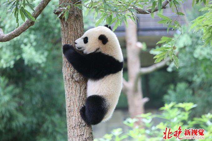 """联邦快递将负责运送旅美大熊猫""""宝宝""""返回中国"""