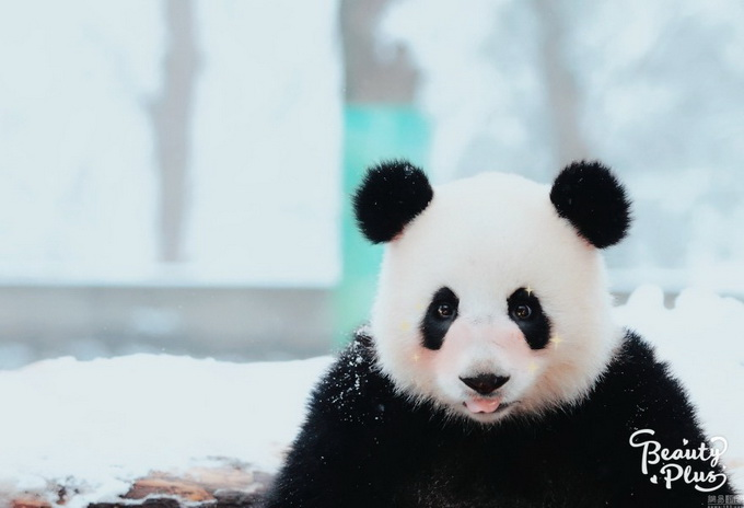 2013年1月5日,浙江省,杭州市,杭州动物园,雪中的大熊猫.