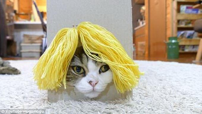 日本猫咪试戴各种假发 博客浏览量破世界纪录