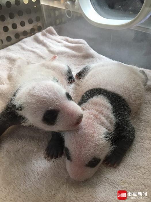 """大熊猫""""芝芝""""首次当妈看到双胞胎幼崽就害怕 9天后才肯喂奶"""