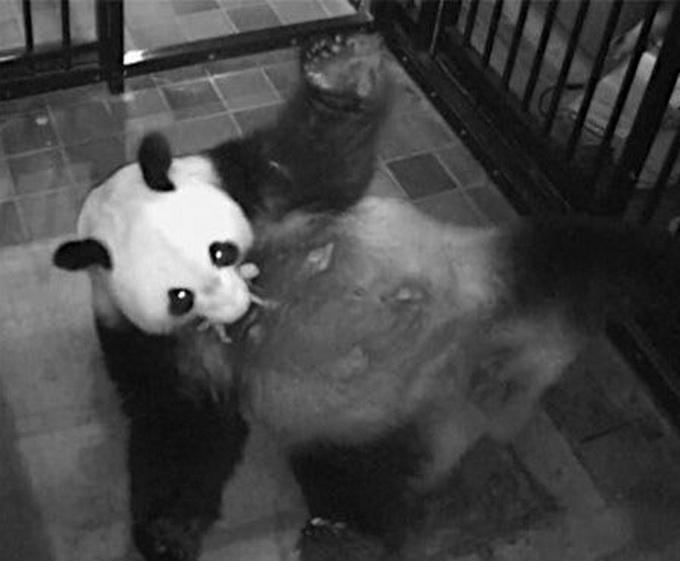 大熊猫圆仔迎生日 目不转睛盯住动物园为其特制五彩蛋糕