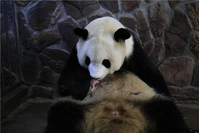 大熊猫晶晶产子:幼仔能在妈妈处吃到奶 母子各项体征良好