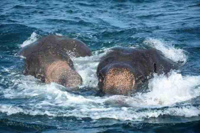 两大象海水中获救 斯里兰卡海军派出多艘船及潜水员将大象拖回浅水区