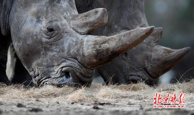 白犀牛是世界濒危动物 资料图 新华社/路透