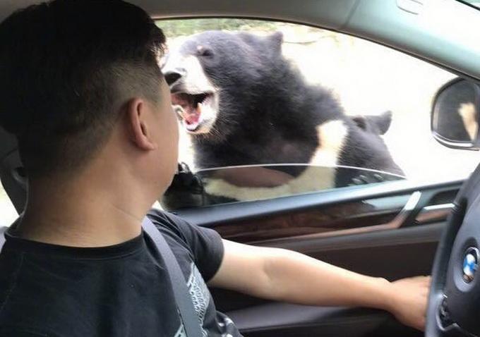 """8月18日,陈先生和朋友驾车到八达岭野生动物园游玩,并打开车窗投食,没想到不远处的一只黑熊突然站起,使劲拍打车窗,试图钻进车内,黑熊扒下车窗时,游客陈先生几乎整个身体暴露在黑熊的视野内,左臂顿时被黑熊死死咬住鲜血直流。陈先生本能地挣脱,猛踩油门往前开,从后视镜里看到,熊被挣脱后疯狂地追赶拍打撕咬车。原本朋友想帮陈先生拍摄下喂食的一幕,没想到意外拍下黑熊袭击他的全过程。    摆脱了黑熊的追击,等待工作人员的到来。陈先生将刚才自己的经历告诉了对方,向他们求助,但让他意外的是,他等到的是""""各种"""