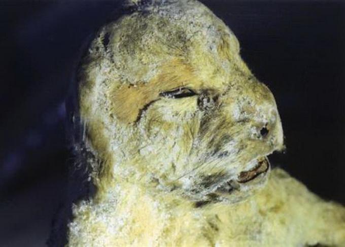 发现灭绝动物 穴狮 距今至少5万年
