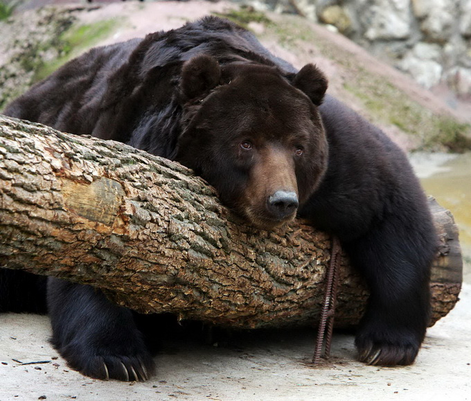 """北京野生动物园下车""""砸熊"""" 游客:是喂熊胡萝卜"""
