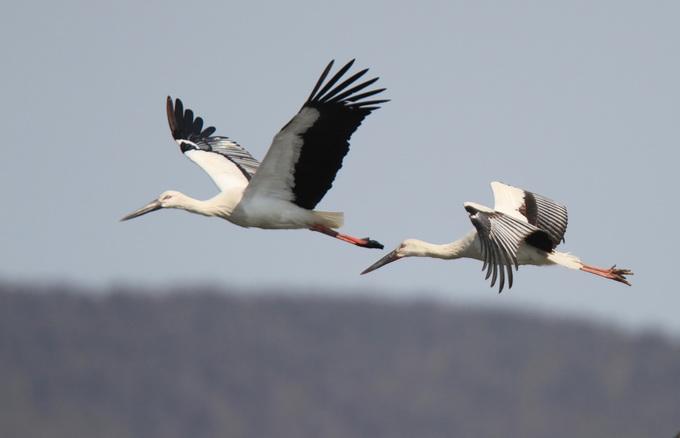 据了解,东方白鹳属于大型涉禽,为国家一级保护动物。2009年全世界东方白鹳野生种群记录不到3000只,为濒危鸟类。 东方白鹳全球仅3000只左右,素有鸟类大熊猫之称。莫莫格湿地被世界自然保护联盟列为濒危物种白鹤跨国迁徙的最重要停歇地之一,有鸟类16目50科298种,可谓鸟的天堂。历史上这里曾是东方白鹳重要的迁徙栖息地,二十世纪八九十年代东方白鹳数量峰值时约有1000只左右,但此后生态环境遭到破坏,东方白鹳一度减少到不足百只。