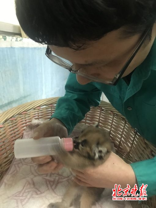 育幼室:动物宝宝每隔3小时需要喂一次奶 走进位于动物园正门不远处的育幼室,这里高达二十七八度的温湿空气让人感觉仿佛进入了另一个亚热带的世界,因为这里的小动物都还处于婴幼期,所以对于温度和湿度都有特别的要求,身穿单衣工作服的饲养员张宝告诉记者,目前育幼室里一共有三只小动物,其中的狞猫和蜘蛛猴都还在婴儿期,平时都要呆在温箱中,还有一只名叫十月的小黑猩猩,从生下来就被它的妈妈弃养了,现在一岁半,身体状况很好,不过未来它能否重新回到族群中还需要专家进行评估后再决定。  记者最先见到的是活泼好动的小十月
