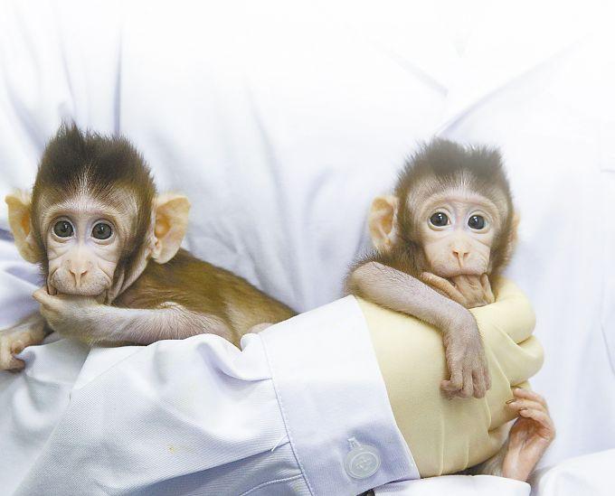 这些和普通的猴子一样能正常地生长的小家伙,是人类第一次使用体细胞(分化细胞)的核作为供体而获得克隆猴,被称作里程碑式的研究结果,一经公布就引发世界关注。这项成果将不仅为动物研究带来革命性的变化,还会促进人类疾病治疗新方案的开发。《细胞》杂志主编Emilie Marcus说。 克隆可简单理解为在最早生命体胚胎上做手术,这个词最早闯进人们的视野与1997年发生的一件大事有关,那一年克隆羊多莉诞生了,这只实际上出生于1996年5月的首例体细胞克隆哺乳动物自此成为动物界的明星,也彻底颠覆了人