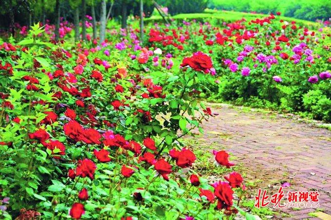重庆时时彩最新规律:北京国际鲜花港:藤本月季龙沙宝石唯美开放