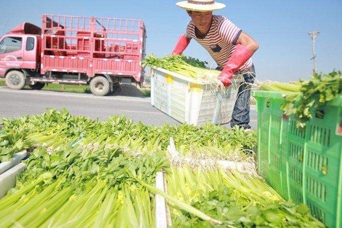 鲜葛根价格:北京市场芹菜