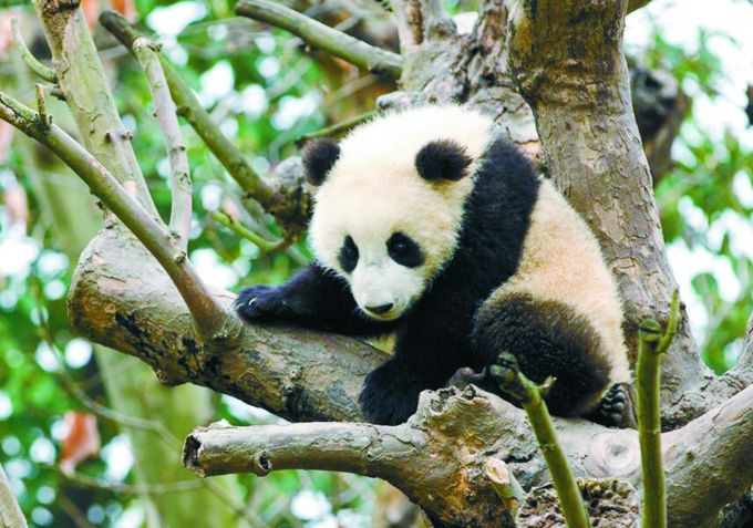"""法大熊猫宝宝庆生 """"圆梦""""爸爸妈妈是旅法大熊猫""""圆仔"""""""