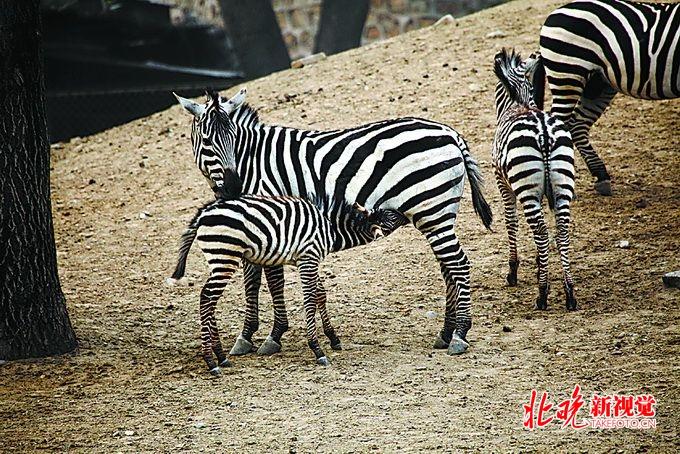 美国有线电视新闻网(CNN)27日报道说,位于开罗的一家动物园,给驴涂上了黑白条纹的颜料,来假装斑马。 然而,没过多久,就露馅了。 18岁的马哈穆德萨罕是秘密的发现者。他称自己在游览开罗的花园企划动物展时看见了一个奇怪的动物:乍一看像是斑马,但它脸上的黑白条纹已经溶解了,耳朵大小也不像斑马。 萨罕在脸书上传了和驴斑马的合影。在照片下,他写道,买来当地的驴,然后涂得像斑马一样,这个国家连这样的蠢事都能发生。 照片随即引发热议。 不过,动物园的负责人坚称,它是真的。花园企划项目负责人穆罕默德