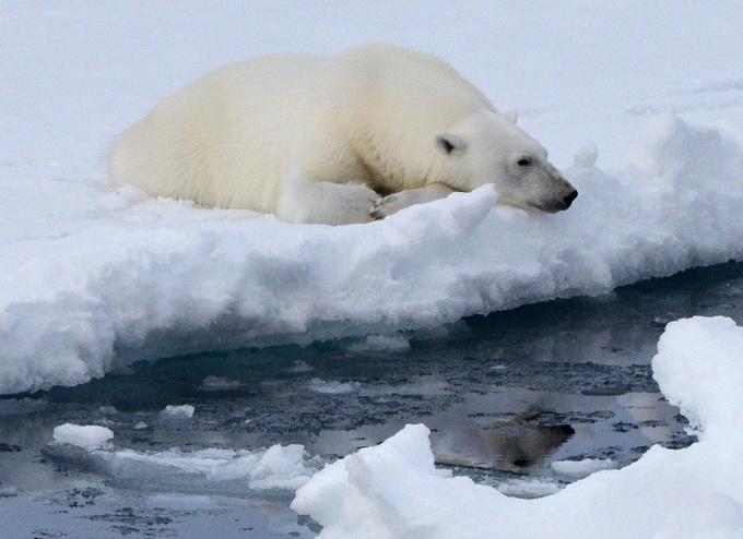 北极熊或将灭绝 浮冰减少会直接影响其觅食生存和繁殖(原创)